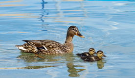 Mallard or wild duck (anas platyrhynchos) and baby. Female mallard or wild duck (anas platyrhynchos) floating on water with two ducklings Royalty Free Stock Photography