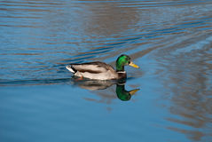 Mallard. The Mallard or Wild Duck (Anas platyrhynchos) is a dabbling duck which breeds throughout the temperate and subtropical Americas, Europe, Asia, and North Royalty Free Stock Photo