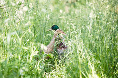The mallard or wild duck - Anas platyrhynchos. On green grass with blurred background Stock Images