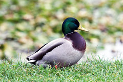 The mallard or wild duck Royalty Free Stock Image