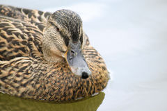 Mallard or wild duck Anas platyrhynchos portrait of the female. Bird, swimming on the lake, close up, selective focus, narrow depth of field Royalty Free Stock Photos