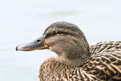 Mallard or wild duck Anas platyrhynchos portrait of the female. Bird, swimming on the lake, close up, selective focus, narrow depth of field Royalty Free Stock Photo
