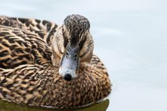 Mallard or wild duck Anas platyrhynchos portrait of the female. Bird, swimming on the lake, close up, selective focus, narrow depth of field Stock Photos
