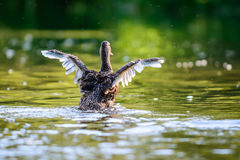 The mallard or wild duck Royalty Free Stock Photo