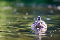 The mallard or wild duck. Anas platyrhynchos swimming in water Royalty Free Stock Photos