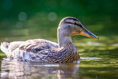 The mallard or wild duck. Anas platyrhynchos swimming in water Stock Photo