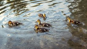 Mallard wild duck ducklings swimming in water. Mallard wild duck ducklings swimming in water Royalty Free Stock Images