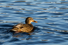 Mallard or wild duck. Female mallard or wild duck, Anas platyrhynchos Royalty Free Stock Photography