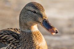 Mallard or wild duck Stock Image
