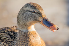 Mallard or wild duck. Female mallard or wild duck, Anas platyrhynchos. Close-up Stock Images
