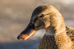 Mallard or wild duck. Female mallard or wild duck, Anas platyrhynchos. Close-up Stock Photo