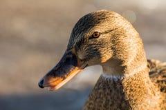Mallard or wild duck Stock Photo