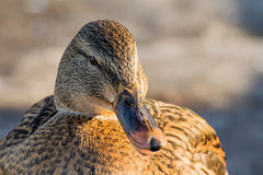 Mallard or wild duck. Female mallard or wild duck, Anas platyrhynchos. Close-up Stock Photography