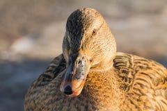 Mallard or wild duck. Female mallard or wild duck, Anas platyrhynchos. Close-up Stock Images