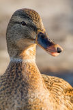 Mallard or wild duck. Female mallard or wild duck, Anas platyrhynchos. Close-up Royalty Free Stock Image