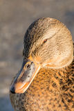 Mallard or wild duck. Female mallard or wild duck, Anas platyrhynchos. Close-up Royalty Free Stock Photography