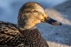 Mallard or wild duck. Female mallard or wild duck, Anas platyrhynchos. Close-up Royalty Free Stock Photo