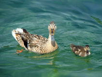 Mallard or wild duck female and baby, anas. Platyrhynchos, floating on the water Royalty Free Stock Photo