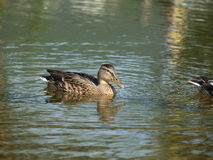 Mallard Royalty Free Stock Photos