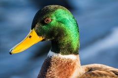 Mallard or wild duck Royalty Free Stock Photography