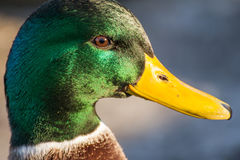 Mallard or wild duck. Male mallard or wild duck, Anas platyrhynchos. Close-up Royalty Free Stock Photos