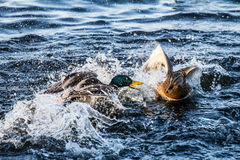 Mallard or wild duck Royalty Free Stock Photos