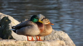 Mallard or wild duck at RAMSAR. Plaiaundi male and female Stock Photo