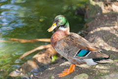 Mallard or Wild duck. Standing near the pond Royalty Free Stock Image