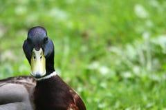 Mallard, wild duck Stock Image