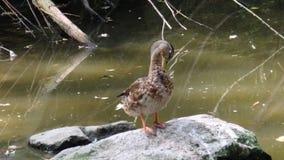 Wild duck, drake stock footage