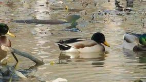 Mallard or wild ducks & Canadian Geese feeding on Pandapas Pond Park Va. stock footage