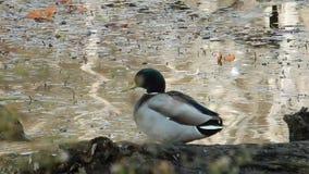 Mallard or wild ducks  feeding on Pandapas Pond Park Va. stock footage