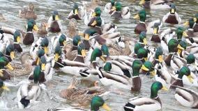 Mallard wild ducks swimming stock video