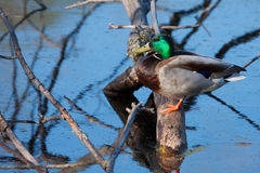 Mallard in the wild Stock Photography