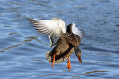 Mallard Wings. A female mallard duck hen flying in to land on a lake Stock Photo