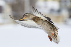 Mallard in winter Royalty Free Stock Image