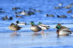 Mallard. In winter on a ice floes Royalty Free Stock Photo