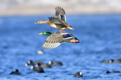 Mallard. In winter on a ice floes Stock Photography