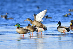 Mallard. In winter on a ice floes Royalty Free Stock Image