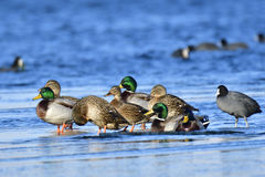 Mallard. In winter on a ice floes Stock Image