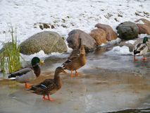 Mallard in the winter. Male and female mallards on the ice during wintertime Royalty Free Stock Images