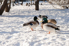 Mallard in the winter at snow. Ducks in the winter at snow Royalty Free Stock Images
