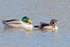 Mallard and Wood Duck. Male Mallard and Male Wood Duck together Royalty Free Stock Photography