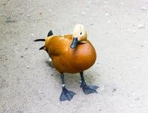 The Mallard yellow. In zoo it walk on the floor Stock Photo