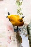 The Mallard yellow. In zoo it walk on the floor Royalty Free Stock Photos
