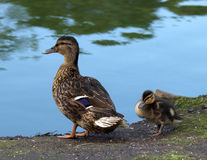 Mallard with Young Royalty Free Stock Images