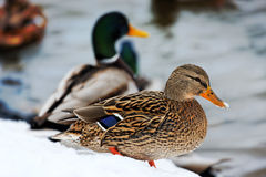 Mallards. Photograph of cute Mallards in winter Stock Image