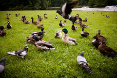 Mallards. On the spring meadow Royalty Free Stock Image