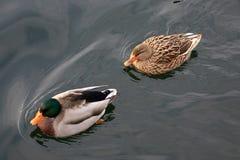 Mallards. Pair of mallards in Lake Avigliana Stock Photo