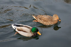 Mallards Stock Photography